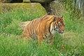 Free Amur Tiger Royalty Free Stock Image - 3546016