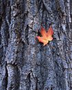 Free Leaf On Bark Stock Photo - 3546540