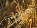 Free Grain At Summer Stock Images - 3547254