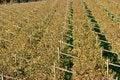 Free Autumnal Vineyard Pattern Royalty Free Stock Photos - 3547618