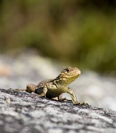 Lizard On Rock Royalty Free Stock Photo