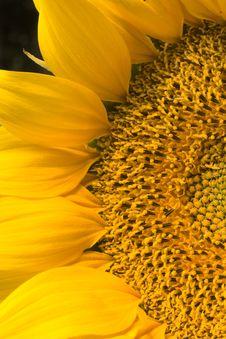 Free Sunflower Royalty Free Stock Photos - 3541078