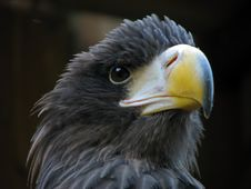 Free Portrait Of Eagle Stock Photography - 3541822