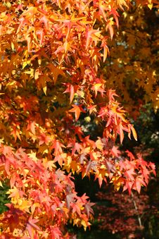 Free Red Autumn Leaves Royalty Free Stock Images - 3541919