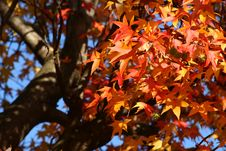 Free Red Autumn Maple Leaves Royalty Free Stock Photo - 3541925