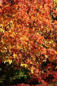 Free Red Autumn Leaves Royalty Free Stock Photos - 3542038