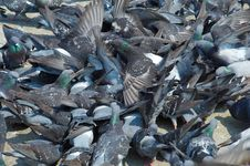 Group Of Pigeons Royalty Free Stock Image