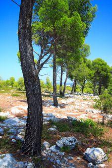 Free Beautiful Pines Stock Image - 3543771