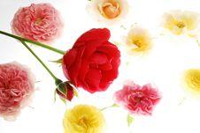 Free Rose Royalty Free Stock Photos - 3544168