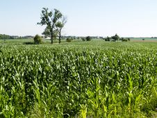 Free Corn Field Royalty Free Stock Images - 3544369