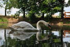 Free Swan Stock Images - 3544764