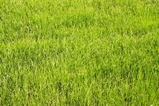 Free Rice Field Royalty Free Stock Photography - 3545827