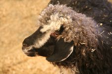 Free Goat Or Sheep Stock Images - 3546834