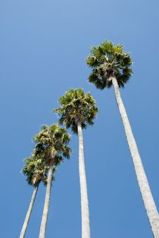 Free Tall Palm Trees Blue Sky Stock Image - 3547151