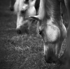 Free Horses Stock Photography - 3547602
