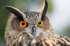 Eagle Owl - Bubo Bubo Stock Image