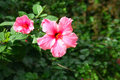 Free Two Pink Flowers Stock Photo - 35406110