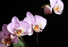 Free Orchid Blossoming Stock Images - 35406114