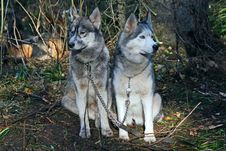 Dogs -  Siberian Husky Stock Photography