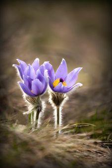 Free Beautiful Purple Spring Flowers Royalty Free Stock Image - 35410626
