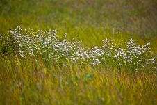 Free White Wildflowers Royalty Free Stock Photo - 35414075