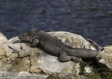 Free Iguana Resting On The Rocks Stock Photography - 35417412