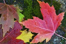 Free Autumn Leaves On Mossy Rock Stock Image - 35417741