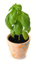 Free Growing Young Sweet Basil Royalty Free Stock Photo - 35423225