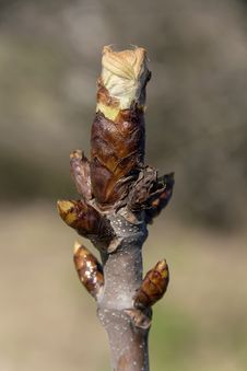 Free Chestnut Bud Royalty Free Stock Photo - 35429425