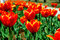 Free Tulips Stock Images - 35423124