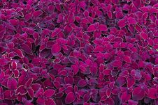 Free Deep Magenta Leaves Stock Photos - 35439283