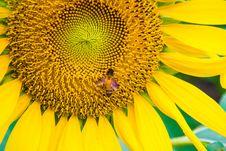 Sun Flower And Bee Stock Photo