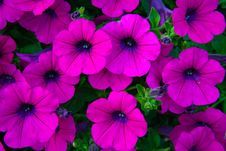 Free Purple Flower Stock Photography - 35444612
