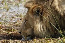 Free Drinking Big Lion Royalty Free Stock Photo - 35445185