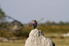 Free Lilac-breasted Roller Stock Photos - 35445393