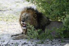 Free Big African Male Lion Royalty Free Stock Photos - 35445488