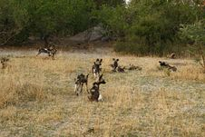 Free A Pack Of African Wild Dogs Stock Photos - 35445543