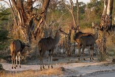 Free A Browsing Herd Of Kudu Royalty Free Stock Photo - 35445585