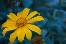 Free Mexican Sunflower Weed Stock Photo - 35448110