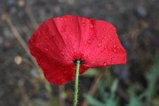 Free Poppy In The Rain. Royalty Free Stock Images - 35457579