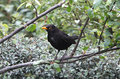 Free Blackbird Royalty Free Stock Images - 35465039