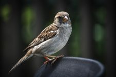 Free Sparrow Stock Photography - 35461182
