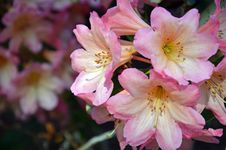 Free Beautiful Pink Rhododendron Flowers Stock Photography - 35466252