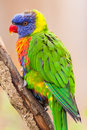Free Lori Lorikeet Royalty Free Stock Image - 35474076