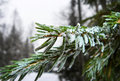 Free Branch Of A Fir-tree Covered With Snow Stock Photos - 35474613