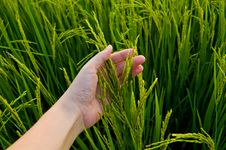 Free Rice Stalk On Hand Stock Photography - 35470052