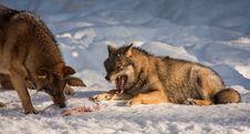 Free Wolf Stock Photos - 35474303