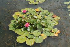 Free Water Lily Plants. Stock Photos - 35475333