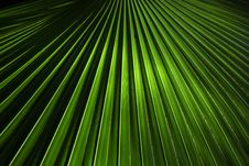Free Bismarkia Fan Palm Royalty Free Stock Photos - 35476578