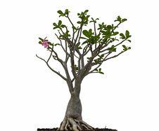 Free Desert Rose Or Ping Bignonia Tree Stock Image - 35485371